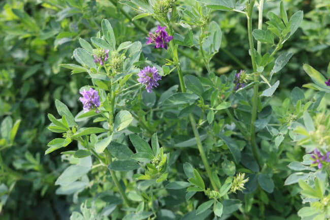 Alfalfa, the Powerhouse Herb